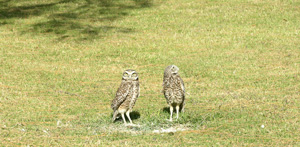 Sombrero Ground Owls